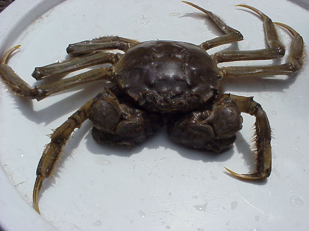 Invading our rivers: a Chinese mitten crab